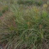 一年生湿地松树苗