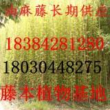 油麻藤苗牛马藤禾雀花苗5公分至5米批发