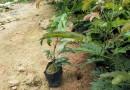 25-30公分高红绒球   红合欢   朱缨花