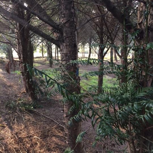 红豆杉9公分垃圾苗