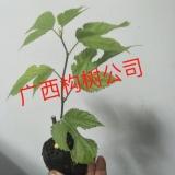航天杂交构树