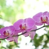蝴蝶兰花苗盆栽