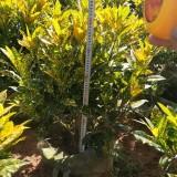 高70-80公分洒金变叶木