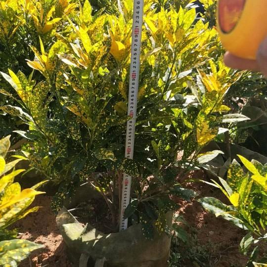 高70-80公分灑金變葉木