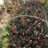 高25-30公分红叶石楠