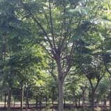 5公分栾树