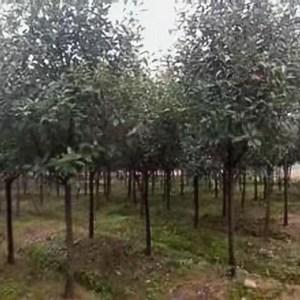 安徽红叶石楠