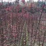 日本红枫小苗