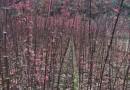 一年南方红豆杉小苗