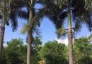 狐尾椰子(杆高450)