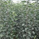 红蜜脆苹果苗细化种植