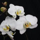 蝴蝶兰多种类开花株