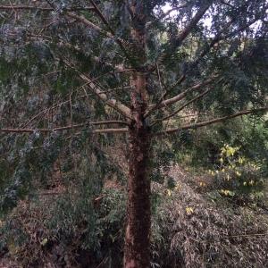 红豆杉十三公分树
