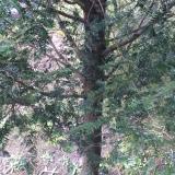 16公分红豆杉