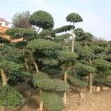 高三米小叶女贞造型树