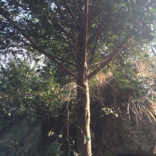 18公分红豆杉