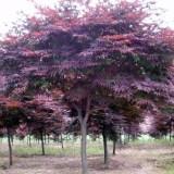 胸径8公分日本红枫