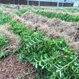 铁皮石斛驯化苗