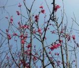 福建山樱花  山樱花基地 胸径5公分福建山樱花