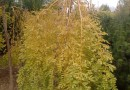 垂枝黄金槐