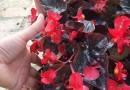 漳州时花海棠盆苗