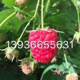 红树莓苗 树莓苗 树莓苗多少钱一棵