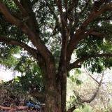 20年龙眼树