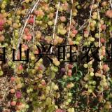 20-30公分高大果双季红树莓苗价格 树莓苗基地批发