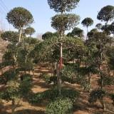 小叶女贞造型树