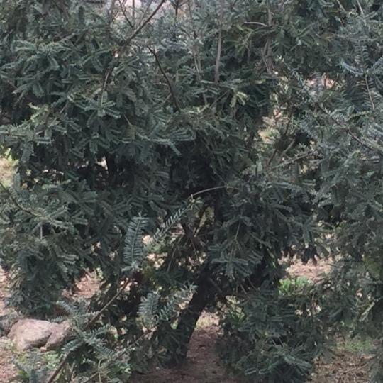 雄香榧苗香榧苗香榧樹出售