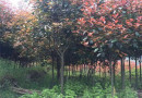 红叶石楠、独杆红叶石楠