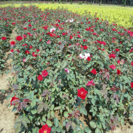 红帽月季(高40公分)