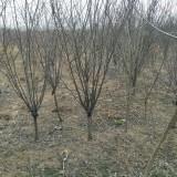 红梅树苗多少钱一棵?江苏红梅树苗基地