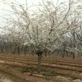 3公分樱花|单樱,精品樱花