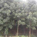 3公分红花七叶树