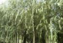 垂柳,柳树