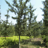 银杏树(实生银杏树)