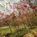 3公分冬櫻花,精品櫻花