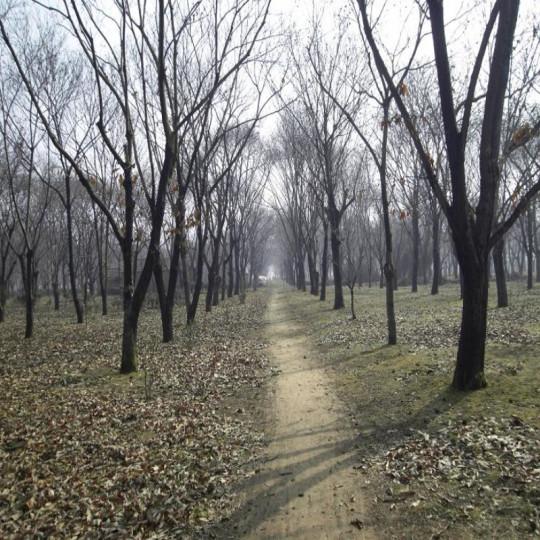 板栗树、10公分板栗树