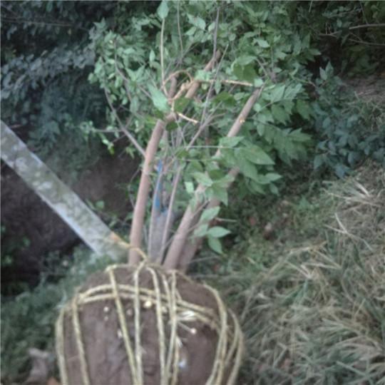 丛生腊梅,冠幅80