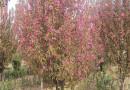 3公分红宝石海棠