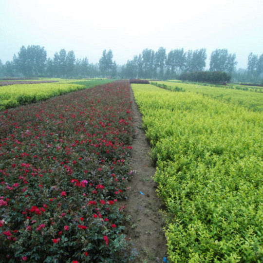鉆石玫瑰,玫瑰種苗