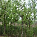15公分枣树