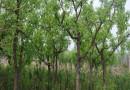 15公分棗樹