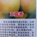 玉露香新优品种梨树