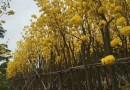 黄花风铃木,价格120