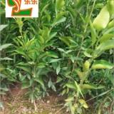 红美人(爱媛28号)柑橘苗木,皮薄汁多,柑桔贵族