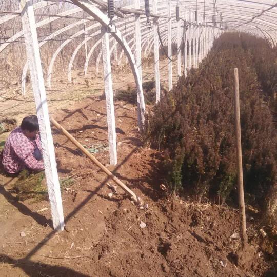 高1米红豆杉苗