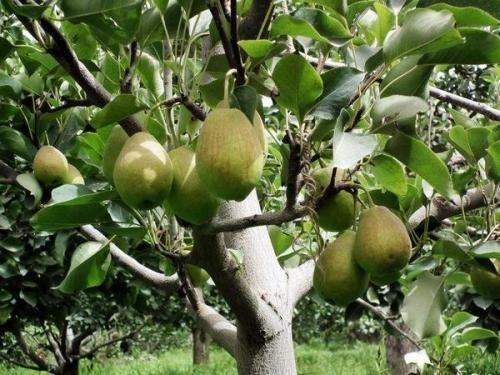 优质1米高红梨苗