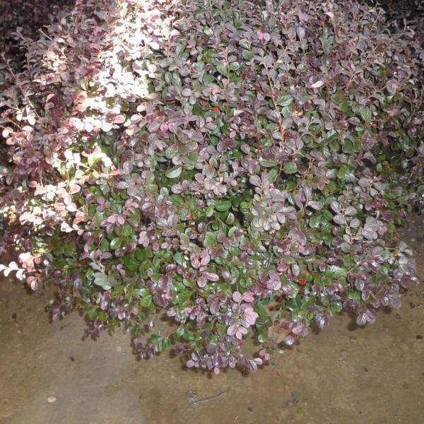 紫叶小檗球
